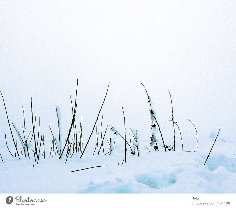 Nature White Winter Cold Snow Brown Fog Weather Frost To go for a walk Thin Transience Long Grass Blade of grass Twig