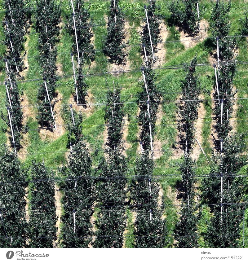 Tree Plant Lanes & trails Fruit Arrangement Transience Row Parallel Slope Fastening Support Bracket Groomed Agriculture Beaded Plantation