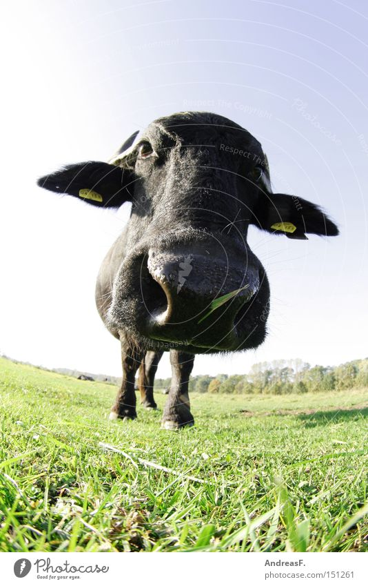 El Torro Buffalo Water buffalo Cattle Cow Bullock Aurochs Bullfight Fisheye Nose Head Agriculture Livestock breeding Cattle breeding Pasture Willow-tree Grass