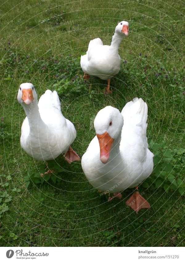 inquisitiveness Goose Bird Animal Poultry Meadow Looking Curiosity White Green Orange