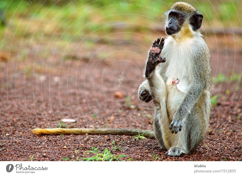 Green monkey in Senegal, Africa Sky Nature Vacation & Travel White Tree Animal Natural Sand Park Wild Vantage point Ground Hot Long