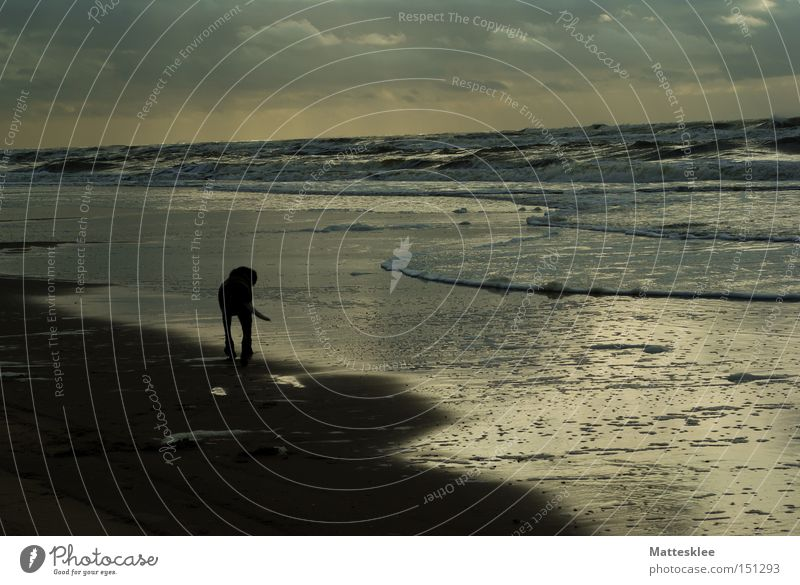 beach life Beach Dog Sunset Ocean Clouds To go for a walk Waves Surf Mammal four-legged friends