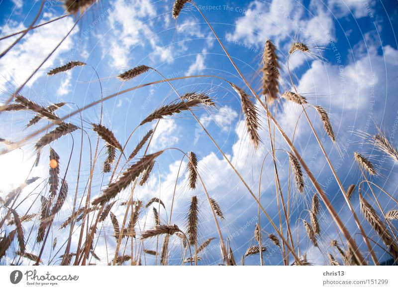 cornfield Food Grain Nutrition Organic produce Summer Sky Clouds Autumn Plant Blue Yellow Healthy Nature Perspective Quality Cornfield Ear of corn Colour photo