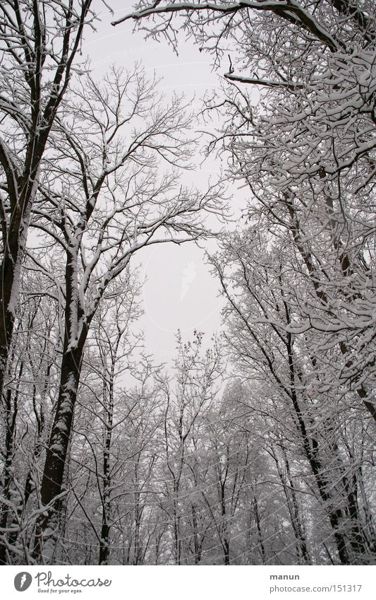 winter forest Winter Snow Frost Landscape Calm Nature Gray White Forest Snowscape Tree Loneliness Ice Worm's-eye view Upward Skyward Winter forest Treetop Bleak
