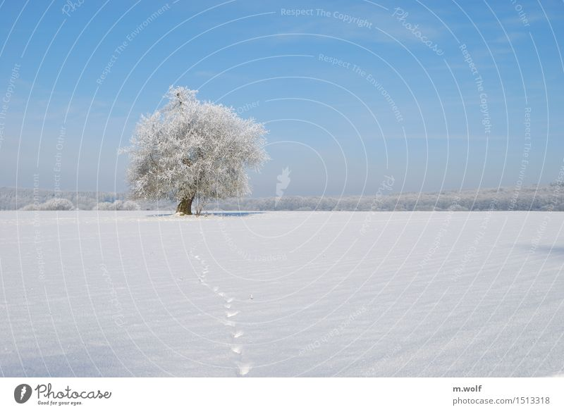 English oak Nature Landscape Plant Cloudless sky Winter Weather Beautiful weather Ice Frost Snow Tree Field Forest Virgin forest Old Esthetic Exceptional Blue