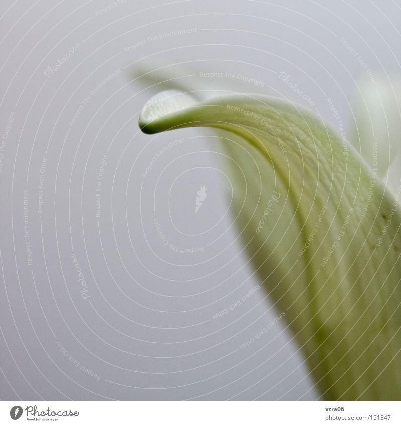 White Flower Plant Blossom Delicate Lily Blossom leave Lily blossom