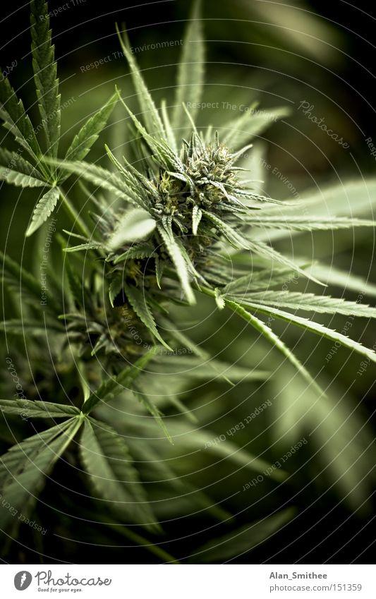breakfast Cannabis Industrial Hemp Intoxicant Grass Plant Ecological weed marijuana shit hemp plant homegrown Exterior shot