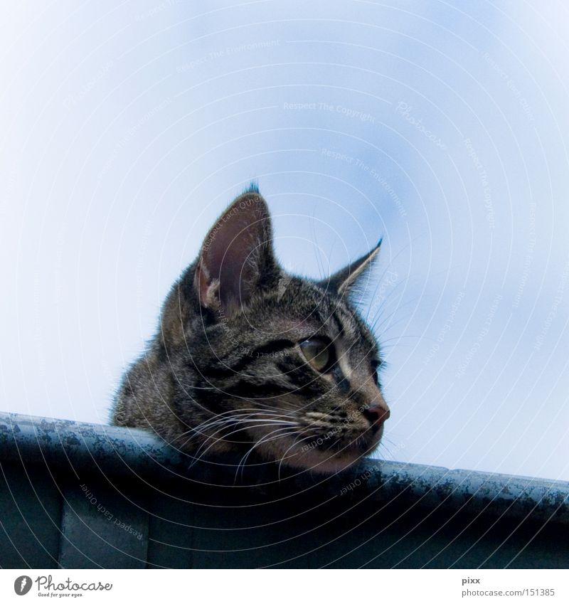 Lunes in the gutter Cat Roof Rain gutter Sky Watchfulness Relaxation Summer Wait Observe Beautiful Mammal mackerelled Ear