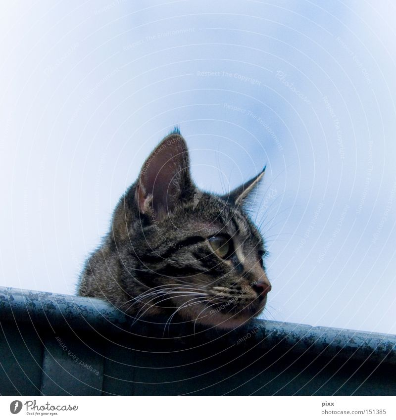 Sky Beautiful Summer Relaxation Cat Wait Ear Roof Observe Watchfulness Mammal Rain gutter