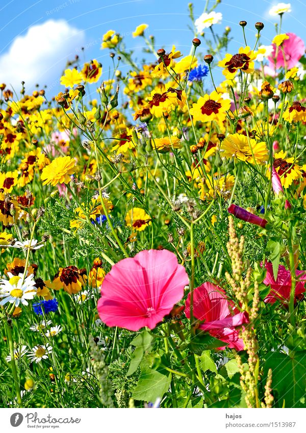 Colourful flower meadow Summer Nature Beautiful weather Flower Blossom Wild plant Meadow Idyll flowers Flower meadow mauve biodiversity variegated Colour photo