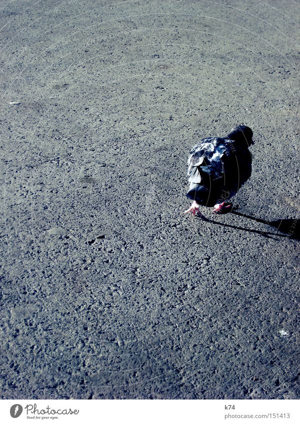 Street Bird Going To go for a walk Feather Asphalt Wild Wild animal Shabby Pigeon Beak Tar Claw Untidy Audacious