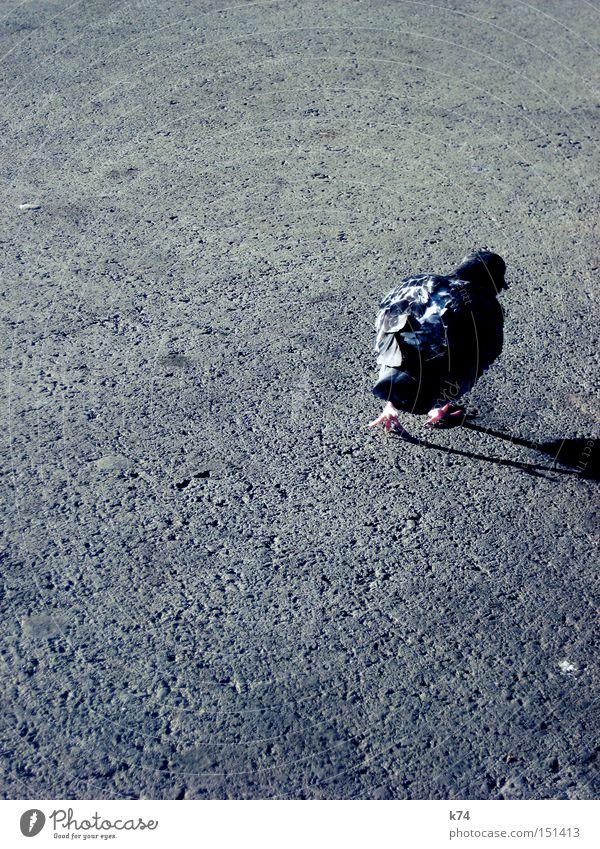 Street Bird Going To go for a walk Feather Asphalt Wild Wild animal Shabby Pigeon Beak Tar Claw Untidy Audacious