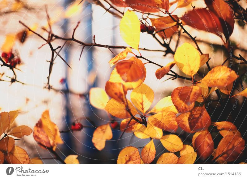 autumn leaves Environment Nature Sunlight Autumn Beautiful weather Plant Tree Bushes Leaf Thorn Prickly bush Park Forest Brown Yellow Autumnal Automn wood