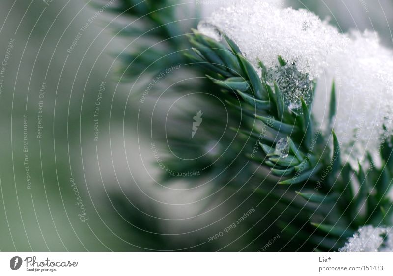 Green White Winter Cold Snow Ice Frost Frozen Twig Fir tree Weight Physics
