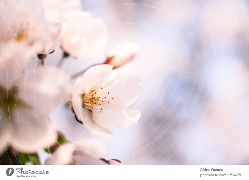 Gentle Touch Nature Spring Beautiful weather Tree Blossom Cherry blossom Cherry tree Blossoming Natural Warmth Blue Green Pink White Spring fever Infatuation