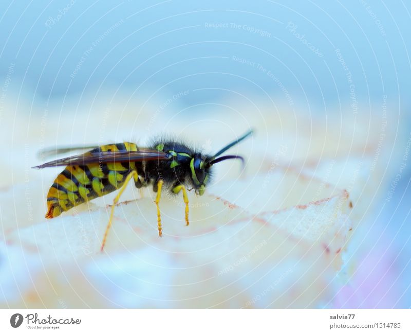 sweet temptation Wild animal Wing Wasps 1 Animal To feed Crawl Sweet Candy Delicious Plagues Insect Alluring Waffle To enjoy vespula vulgaris wasp sting