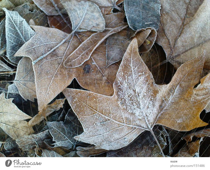 ripe for the island Autumn Leaf Brown Transience Hoar frost Frost Autumn leaves Maple tree Old Colour photo Subdued colour Exterior shot Close-up