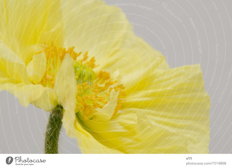 Yellow poppy II Plant Spring Flower Blossom Poppy Blossoming Fragrance Illuminate Thin Elegant Happiness Beautiful Gold Joy Happy Spring fever Warm-heartedness