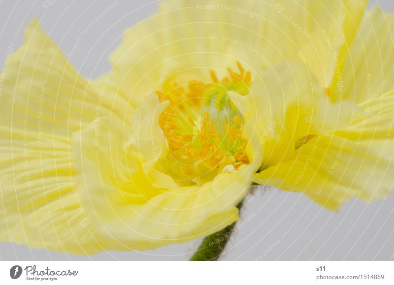 Yellow poppy Plant Spring Flower Blossom Poppy Blossoming Fragrance Illuminate Elegant Fresh Beautiful Gold Smoothness Blossom leave Pistil Pollen Stalk