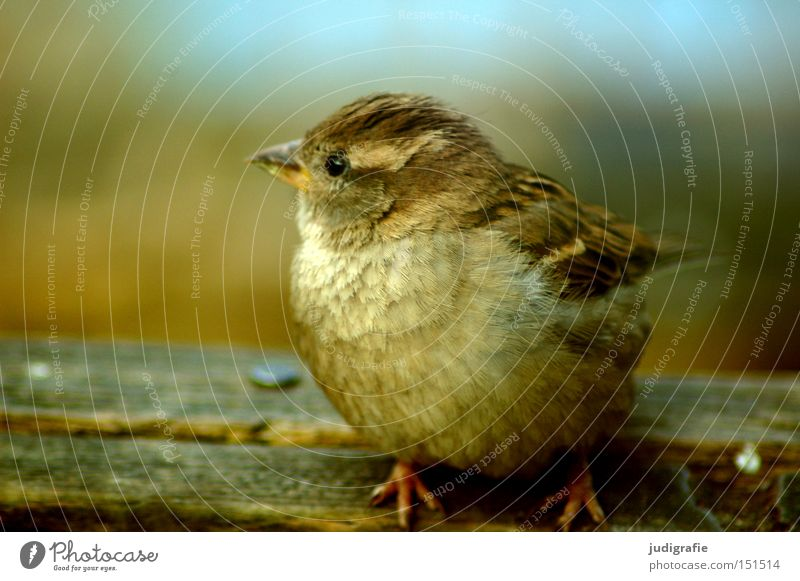 sparrow Sparrow Bird Animal Small Nature Environment Songbirds Cute Poultry Feather Colour