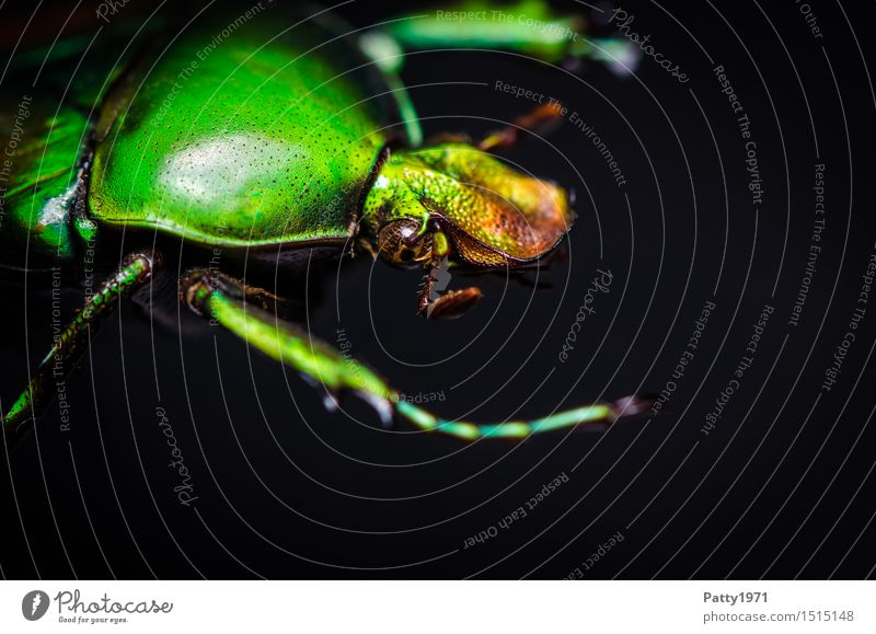 Nature Green Animal Glittering Bizarre Crawl Beetle Glimmer Dazzling Rose beetle