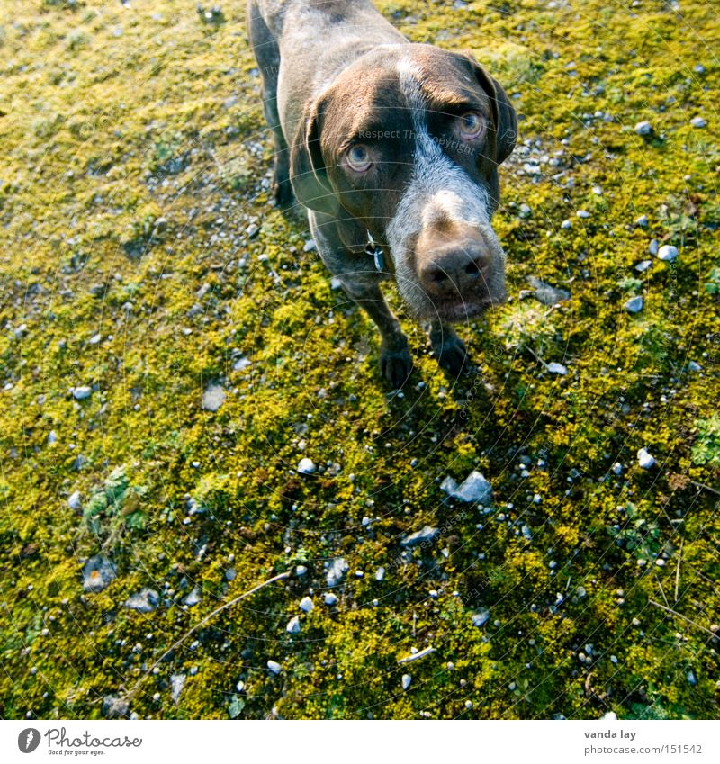 Innocent Dog Animal Hunter Snow Moss Above Autumn Green Looking Broken Error Stone Hunting Trust Mammal German Shorthair Stunned Apology