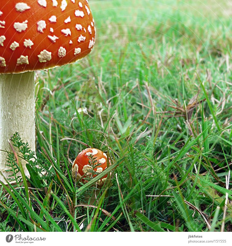 FRIED OR FRIED ALWAYS A DELICACY Mushroom Amanita mushroom Hat Umbrellas & Shades Difference Grass Caution Poison Dangerous Food Illusion Stalk Irreconcilable