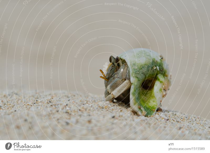 crab Animal Wild animal Animal face Shellfish Feeler Goggle eyed Eyes Snail shell 1 Observe To enjoy Watchfulness Attentive Caution Sunbathing Sand Beach Heat