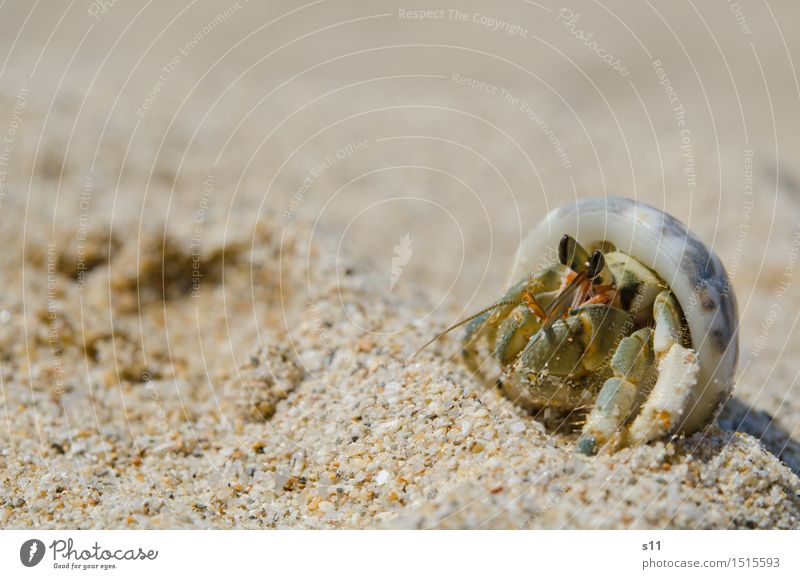 Another Crab Animal Wild animal Shellfish Goggle eyed Feeler Crustacean Animal face Legs Mussel shell 1 Funny Smart Brown Green Eyes Observe To enjoy