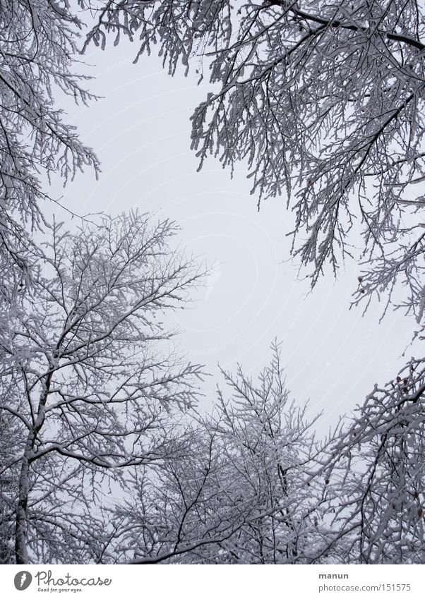 Winter Forest II Colour photo Black & white photo Exterior shot Copy Space middle Neutral Background Morning Day Contrast Deep depth of field Worm's-eye view