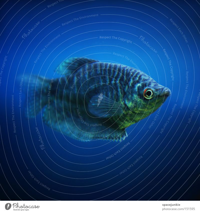 Blue Water Ocean Joy Eyes Lake Fish Dive Underwater photo Aquarium Snout Fin Dandruff Deep sea