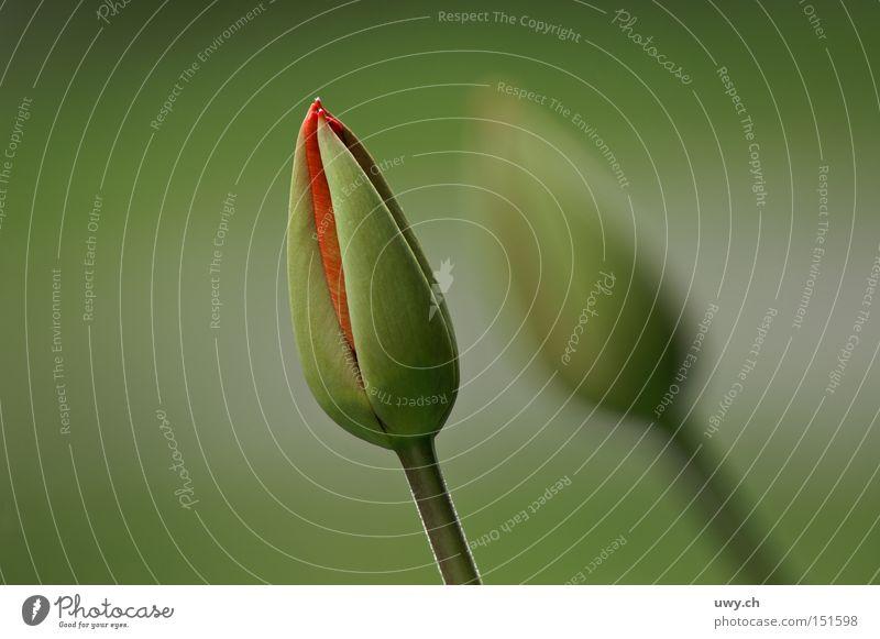 DUO Tulip Flower Florist Spring Bud Colour Nature