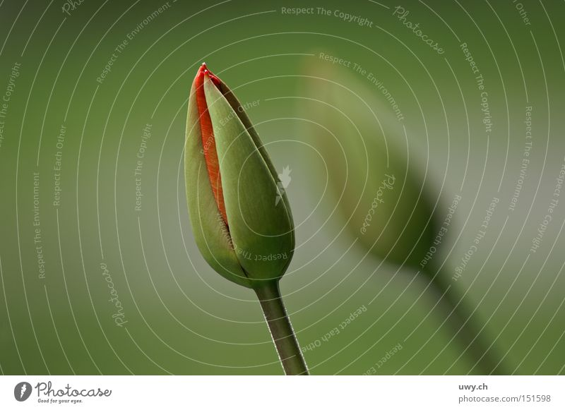 Nature Flower Colour Spring Tulip Bud Florist