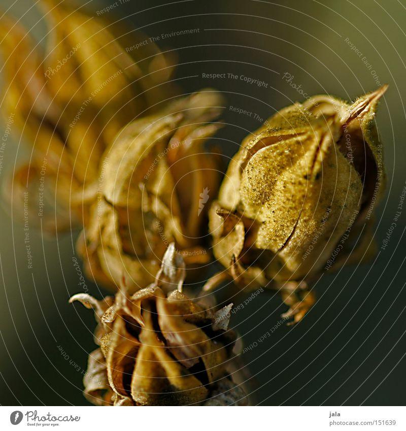 quatro Plant Winter Dried Shriveled Dried flower Bud Leaf bud Blossom Macro (Extreme close-up) Close-up Detail Nature Park
