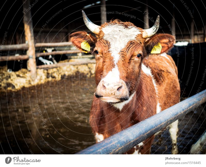 Organic cow on the farm Harmonious Relaxation Meditation Leisure and hobbies Vacation & Travel Trip Summer Summer vacation Agriculture Forestry Environment