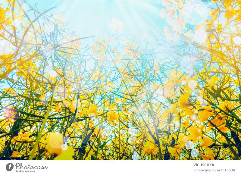 Rape blossoms over sun and sky background Lifestyle Style Summer Summer vacation Nature Sky Sun Sunlight Beautiful weather Plant Leaf Blossom Meadow Field