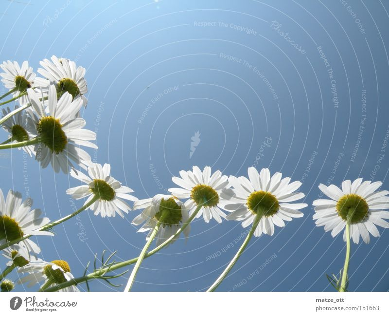 Sky Flower Plant Summer Blossom Spring Daisy