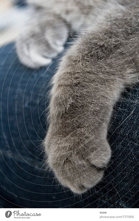 Cat Gray Friendship Together Contentment Lie Warm-heartedness Soft Pelt Jeans Pants Pet Paw Mammal Safety (feeling of) Cuddly