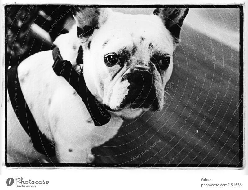 Dog France Boredom Mammal Assassin Animal Criminal Mastiff Bulldog Squint Long-haul truck driver