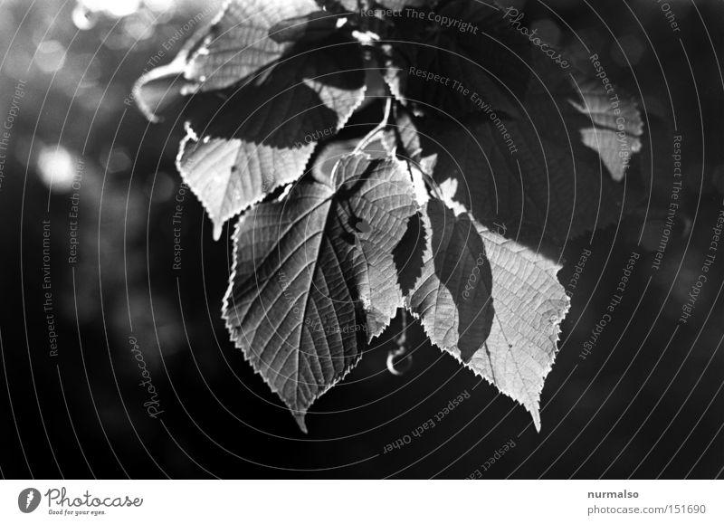 Mono Leaf Thrush Tree Analog Light Halo Edge Structures and shapes Beech tree Autumn Park Flat (apartment) Potsdam Emotions 25ASA Orthochromatic