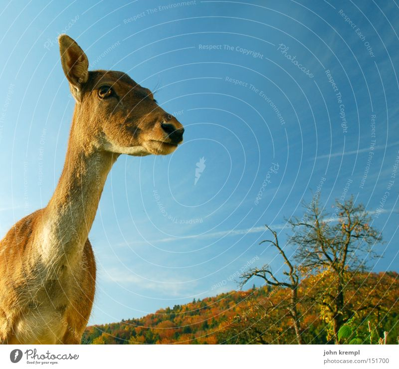 Sky Forest Autumn Brown Wild animal Mammal Deer Roe deer Animal Buck Auburn Fawn Red deer