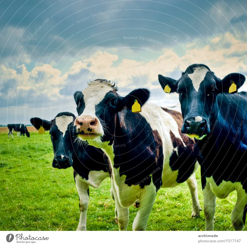 Cows in the field Nature Animal To feed Free Funny Cute Wild Farm bovine live stock healthy Netherlands country three Pasture Exterior shot Deserted