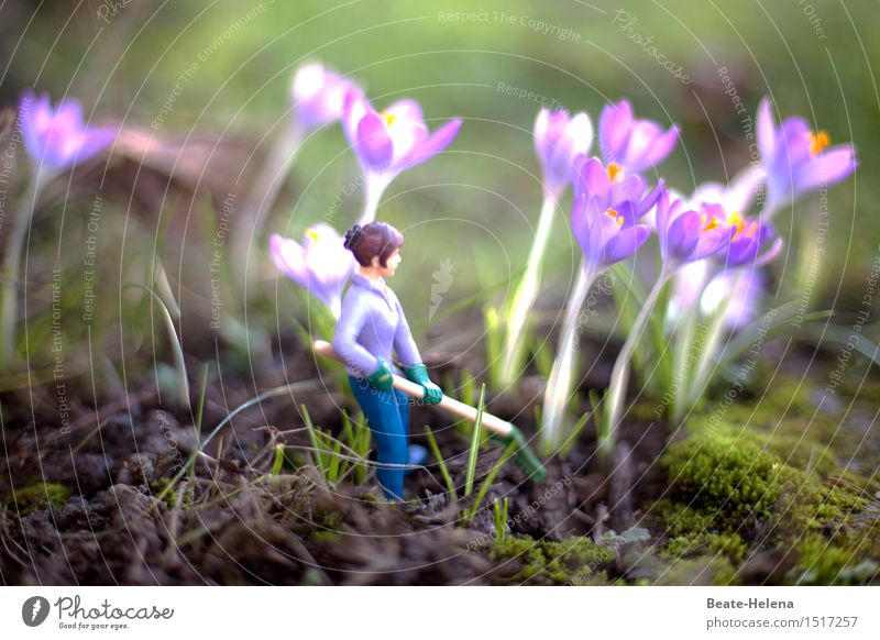 The crocuses are already radiating Herbs and spices Leisure and hobbies Gardening Agriculture Forestry Rake Nature Spring Plant Crocus Lanes & trails Workwear