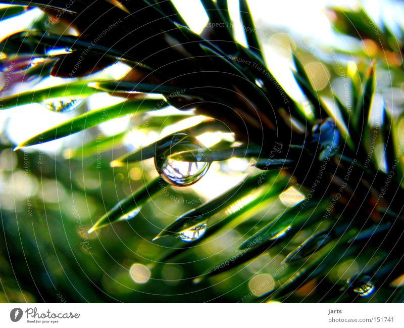 Water Green Sun Drops of water Fir tree Fir needle