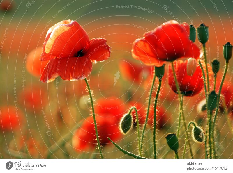 If summer were now... Environment Nature Landscape Plant Summer Flower Blossom Garden Park Meadow Field Bright Natural Beautiful Warmth Green Red Poppy
