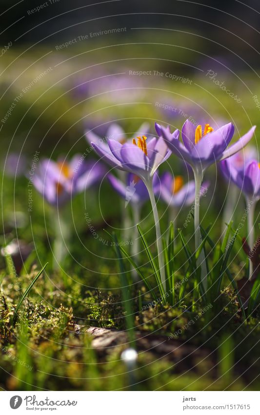 blossoming Plant Beautiful weather Flower Blossom Garden Park Blossoming Growth Fragrance Fresh Natural Nature Spring Crocus Colour photo Multicoloured