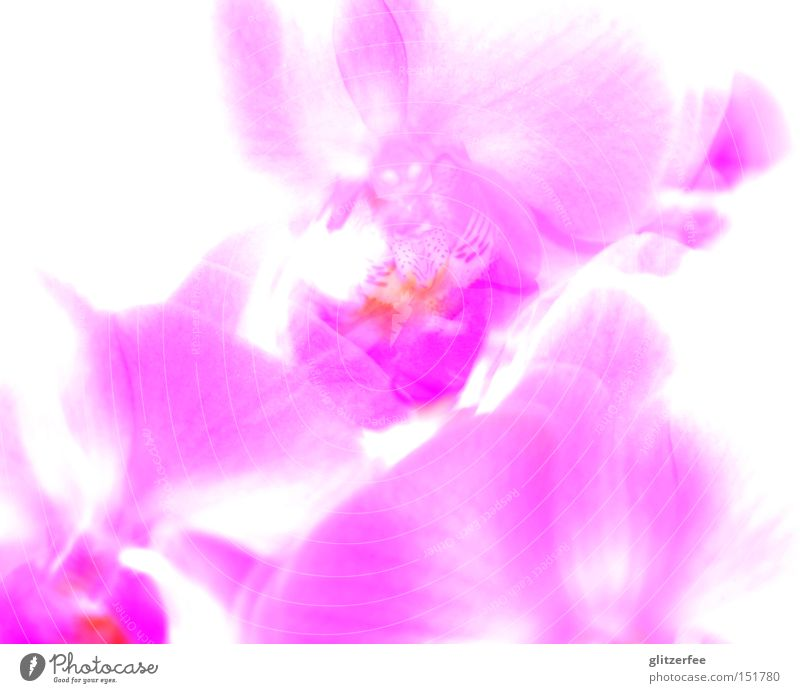Beautiful Flower Plant Blossom Pink Asia Botany Orchid Overexposure Pot plant Girlish Sepal