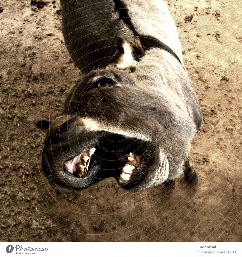 Hungry Donkey / Hungry Donkey Set of teeth Appetite Animal To feed Horse Beg Mammal