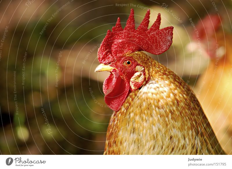 A proud animal Rooster Barn fowl Pride Arrogant Crest Brown Feather Beak Animal Bird Flying Small Red Autumn Safety Aviation