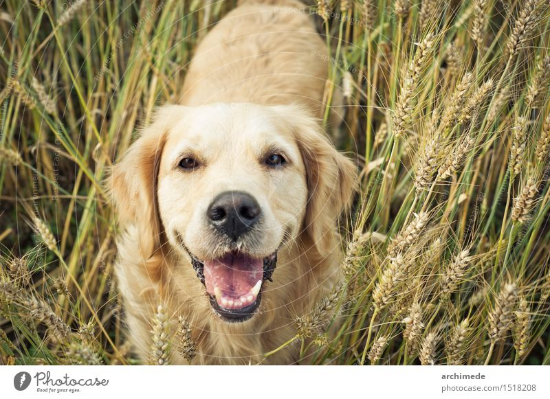 Golden retriever smiling at camera Joy Freedom Environment Nature Plant Pet Dog To enjoy Smiling Funny Cute Wild Golden Retriever Labrador Healthy Field Wheat